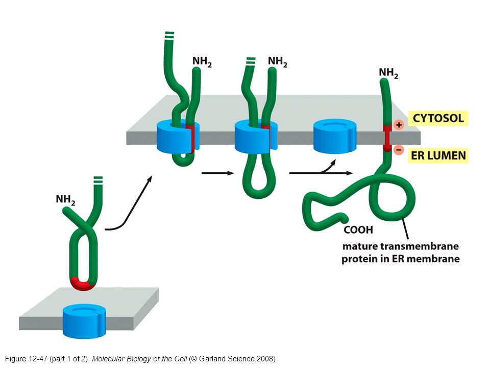 Figure 12-47 (part 1 of 2) Molecular Biology of the Cell (© Garland Science 2008)
