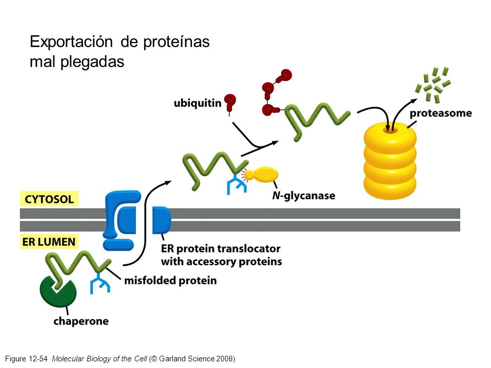 Exportación de proteínas mal plegadas