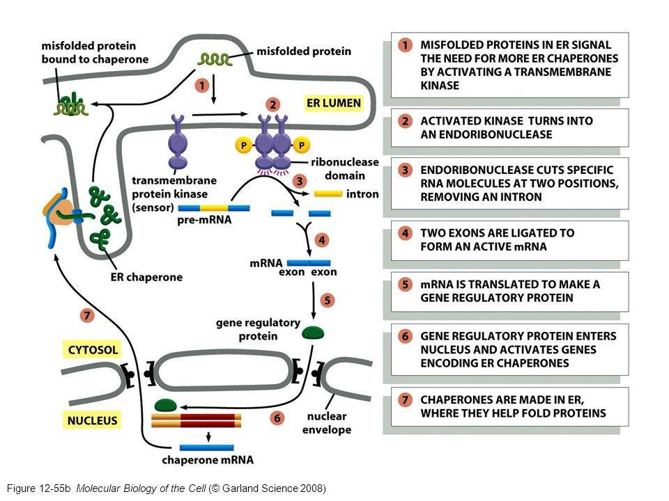 Figure 12-55b Molecular Biology of the Cell (© Garland Science 2008)