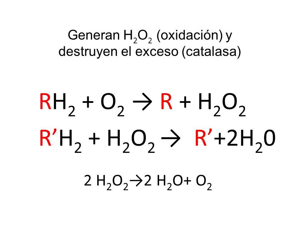 Generan H2O2 (oxidación) y destruyen el exceso (catalasa)