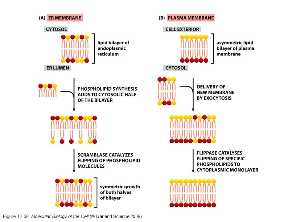 Figure 12-58 Molecular Biology of the Cell (© Garland Science 2008)