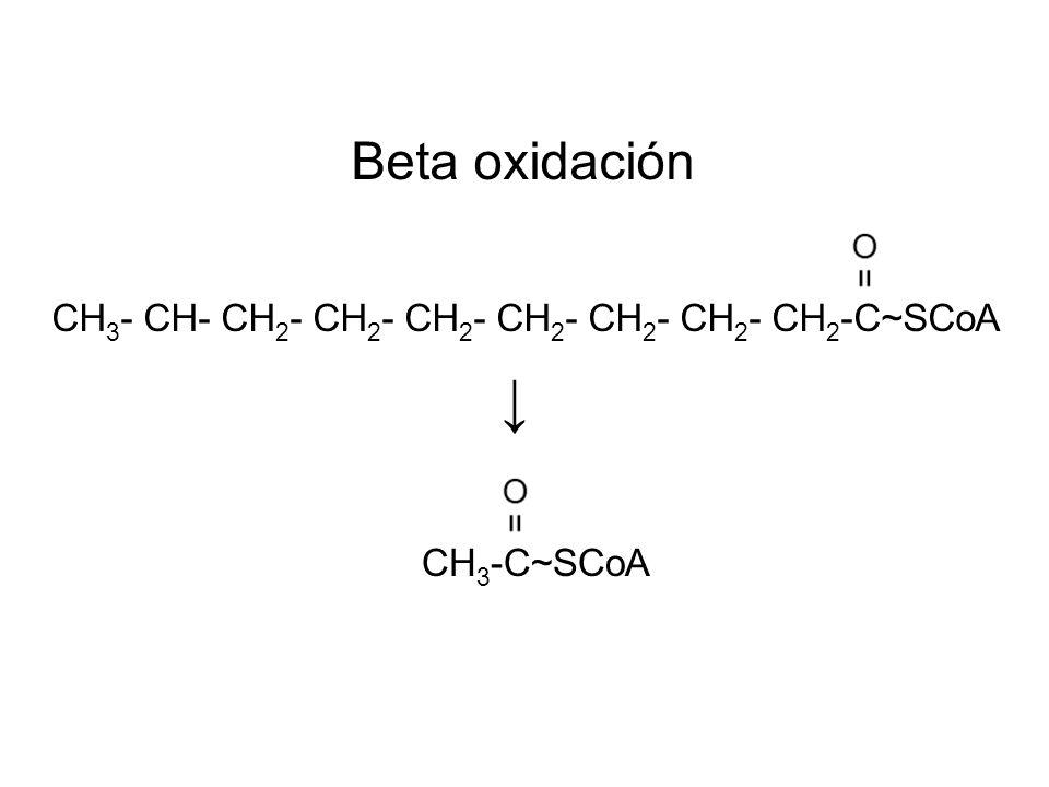 → Beta oxidación CH3- CH- CH2- CH2- CH2- CH2- CH2- CH2- CH2-C~SCoA