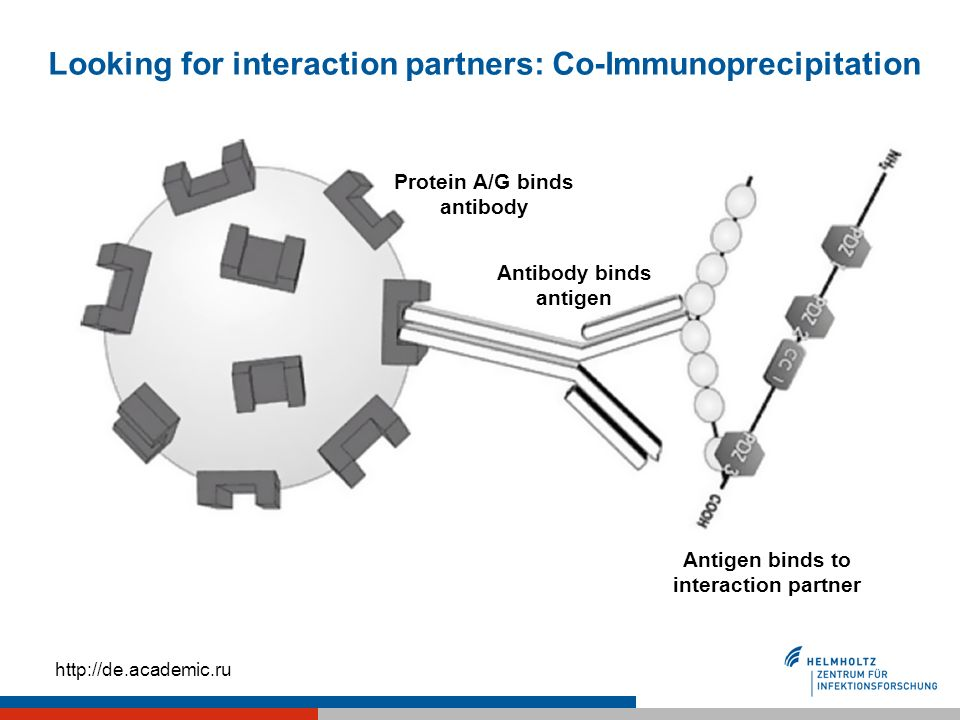 Looking for interaction partners: Co-Immunoprecipitation