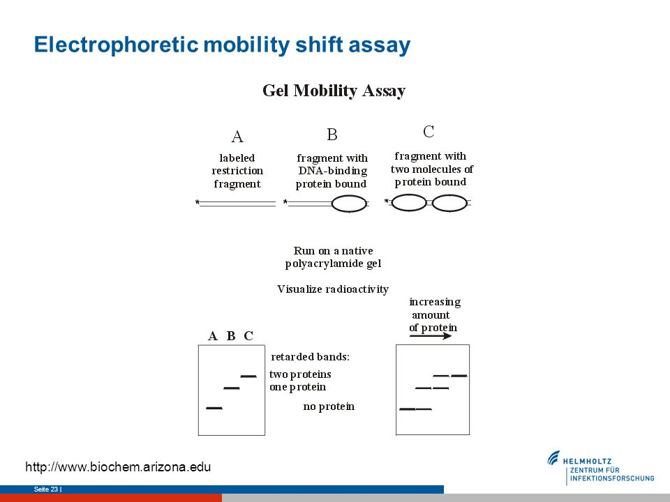 Electrophoretic mobility shift assay