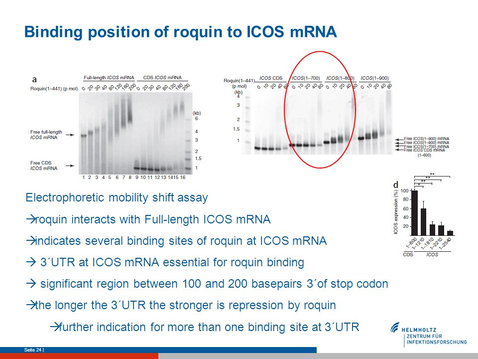 Binding position of roquin to ICOS mRNA