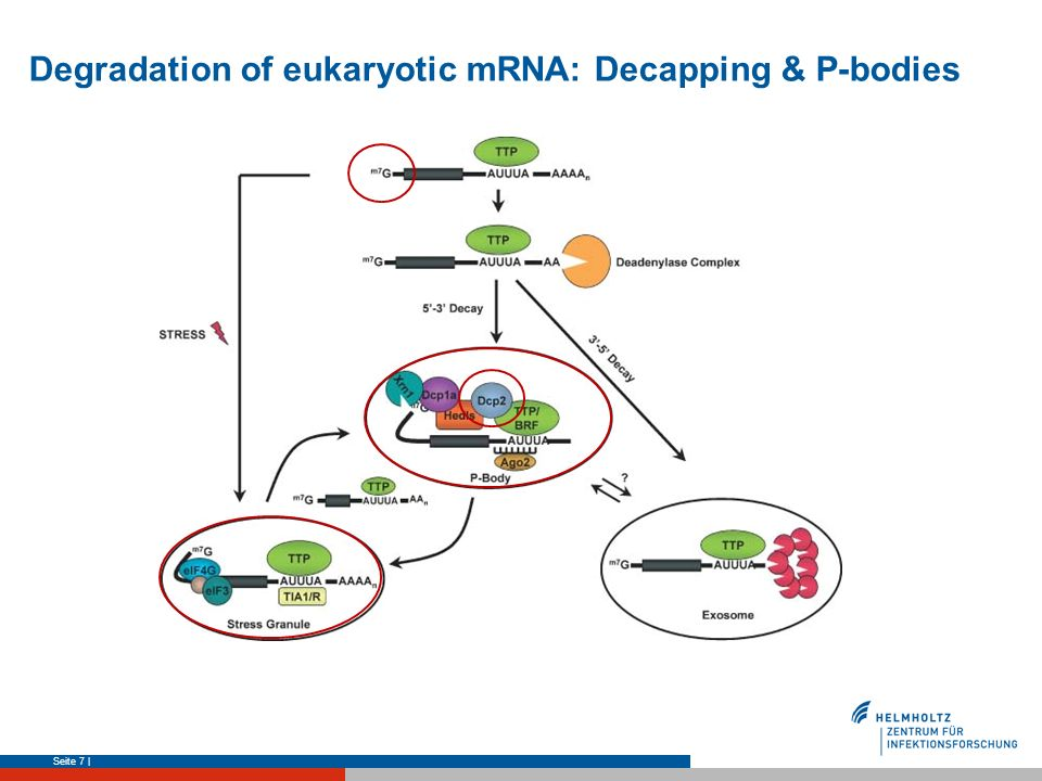 Degradation of eukaryotic mRNA: Decapping & P-bodies
