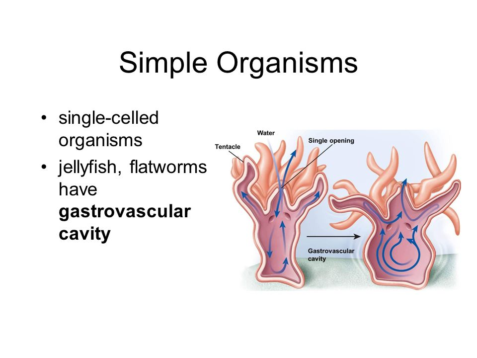 Digestion 9 3 9 4 image from ppt download for Simple single