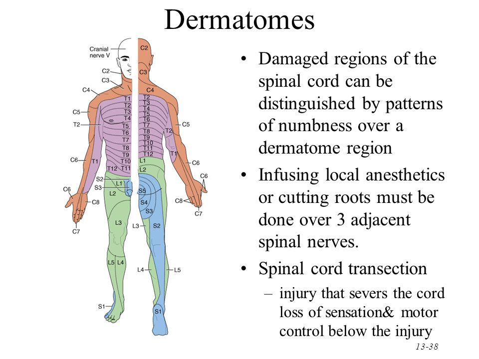 Chapter 13 the spinal cord spinal nerves ppt video for Loss of motor control