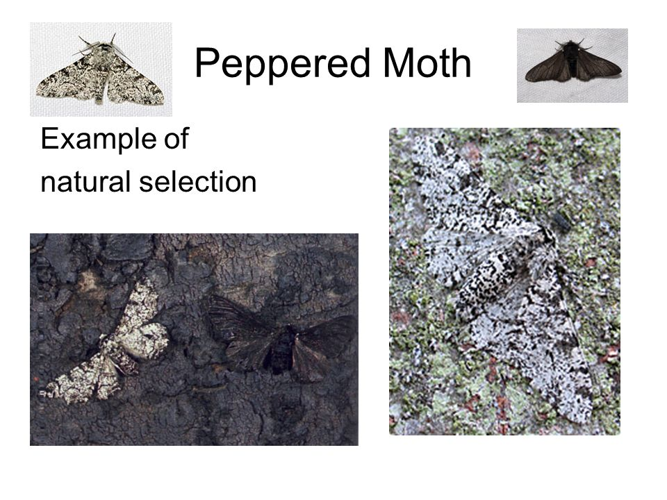 Natural Selection Examples Peppered Moths