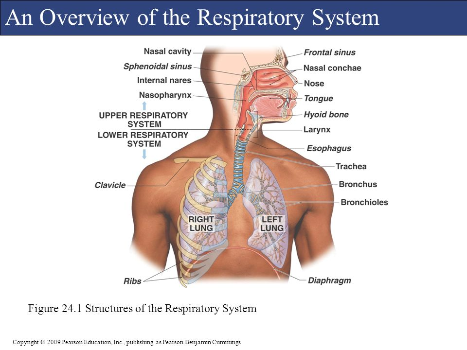 Moderno Anatomy And Physiology Respiratory System Test Bank Imágenes ...