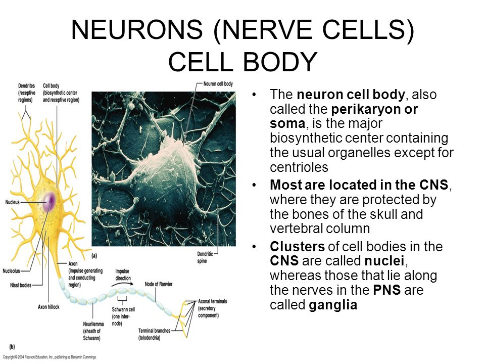 neuron cell body from - photo #39