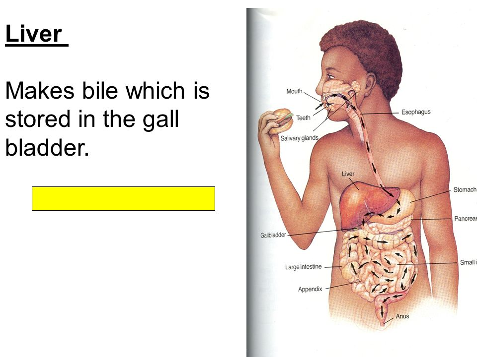 10+ best ideas about Bile salts from the liver and gallbladder aid ...