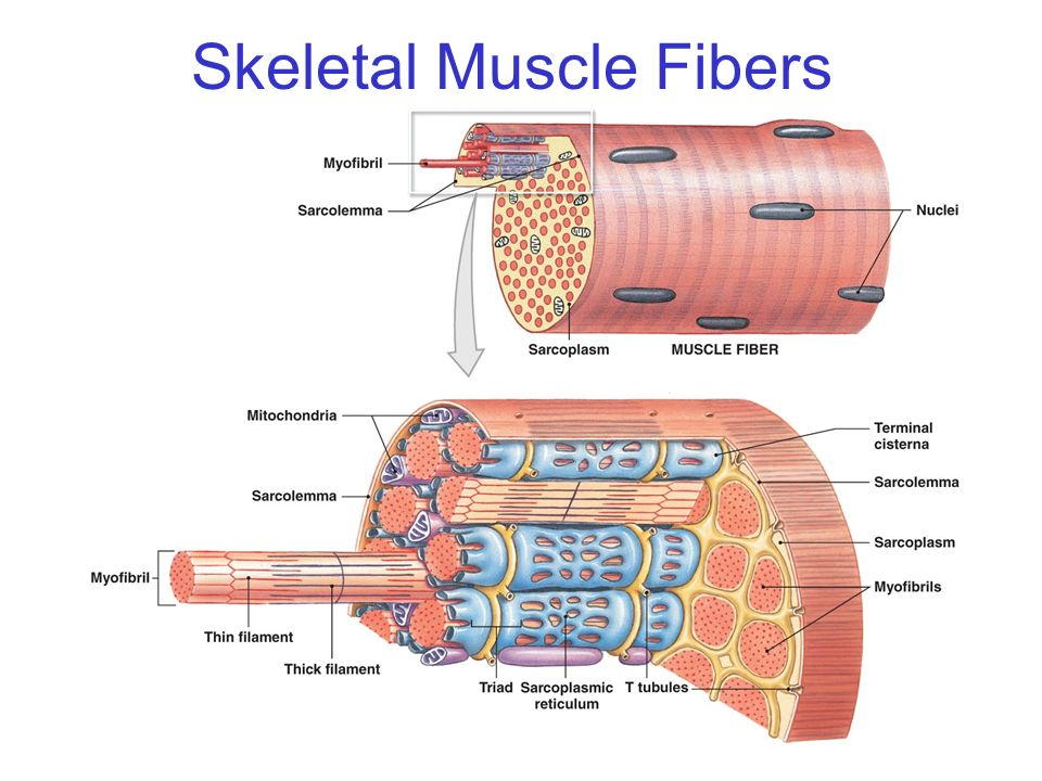 which tissue comprises the muscle wrappings Study questions on anatomy review: skeletal muscle tissue  1 (page 1) what is the main function of skeletal muscles 2 (page 3) list the three types of .