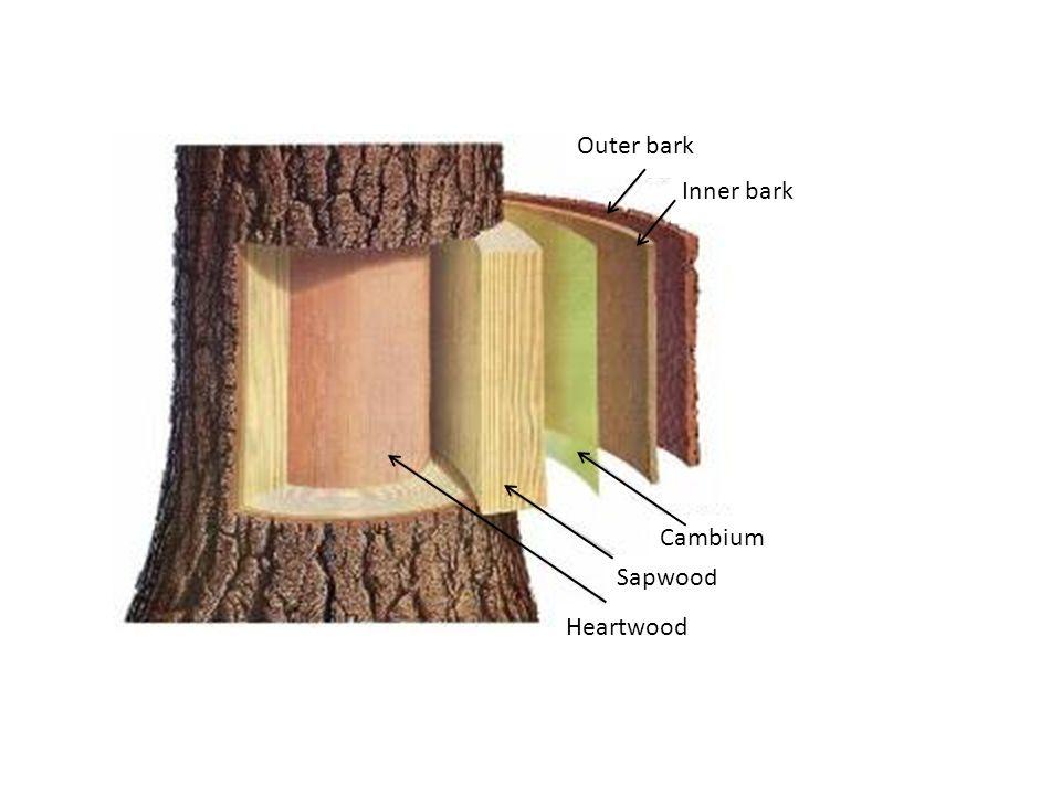 wood anatomy and identification