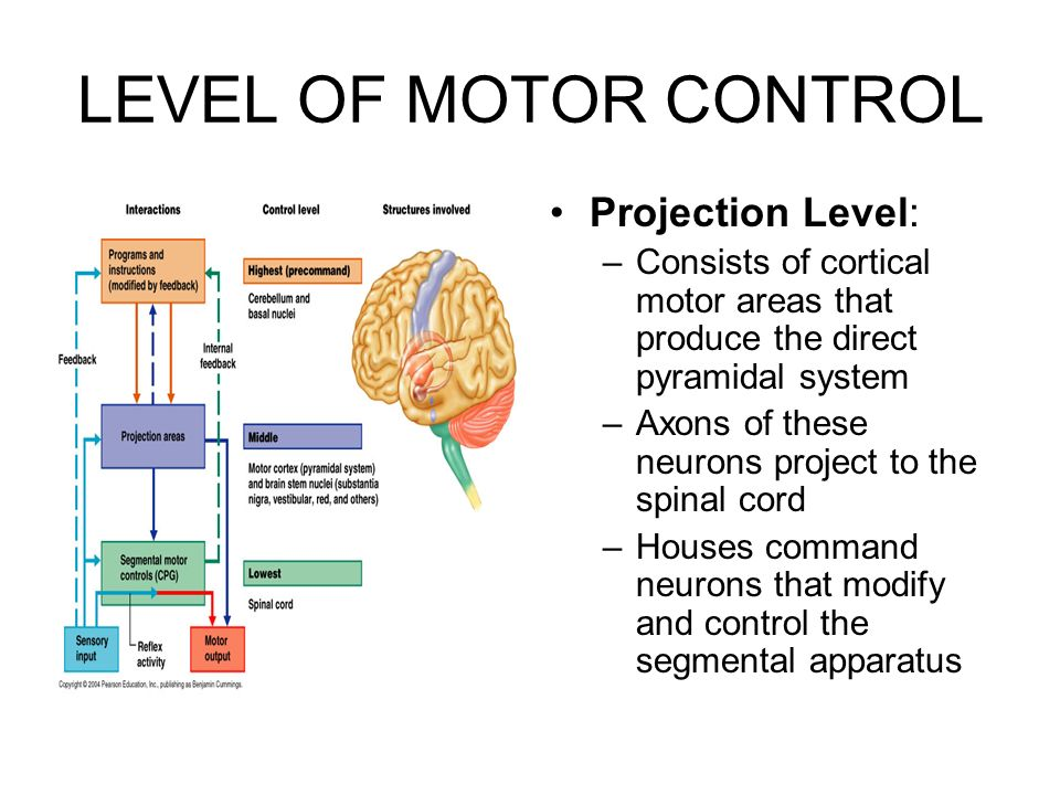 The Peripheral Nervous System And Reflex Activity Ppt Download