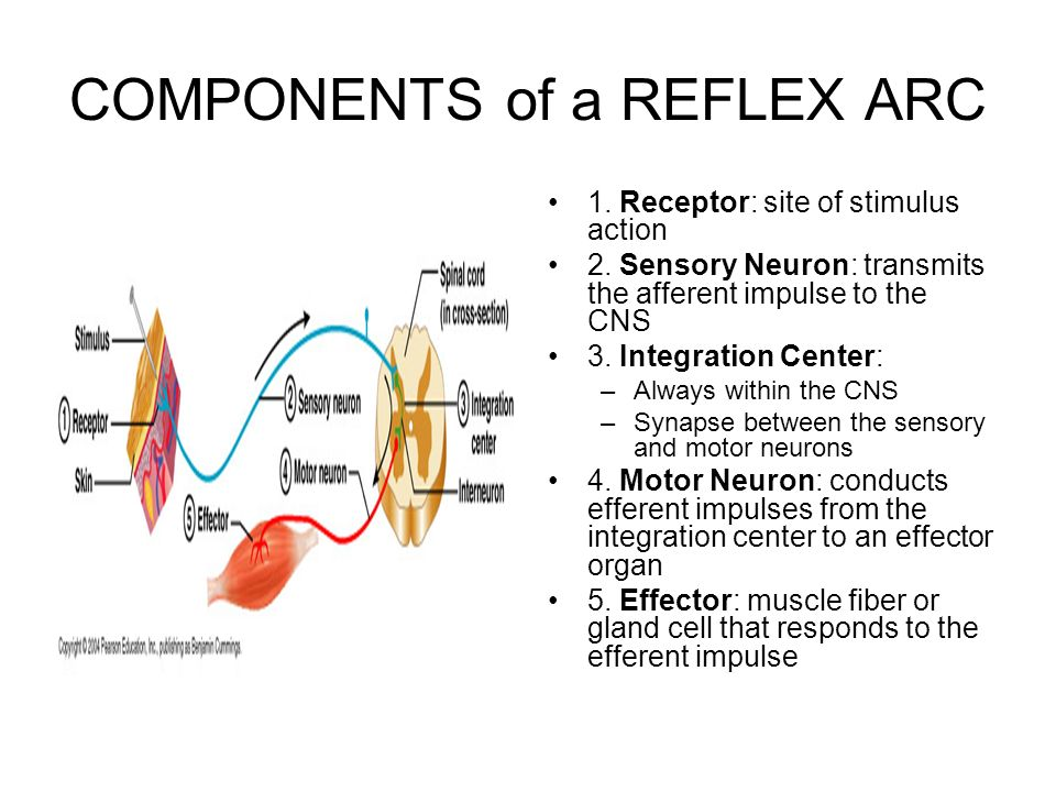 central nervous system and reflex arc