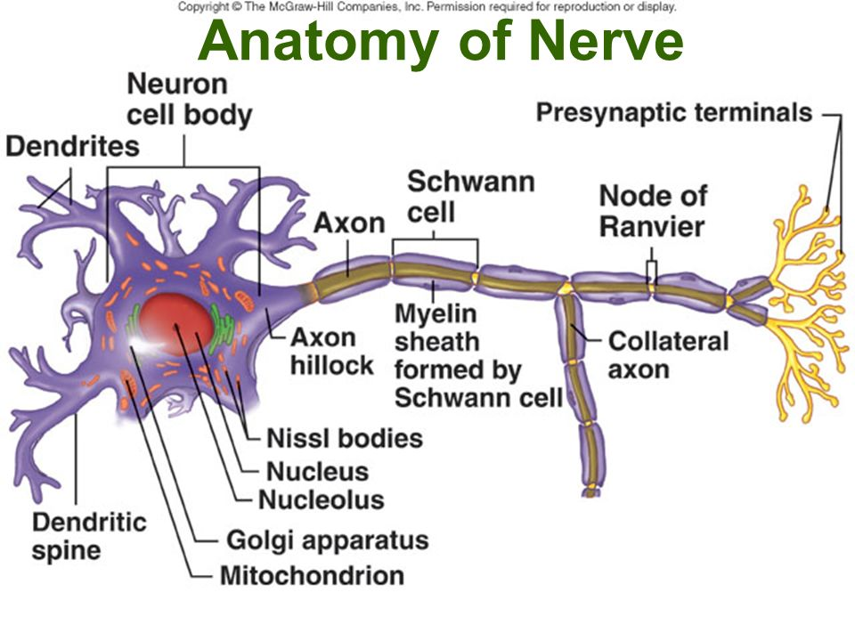 Anatomy Of A Combine : Tissues of the body cells combine to form and