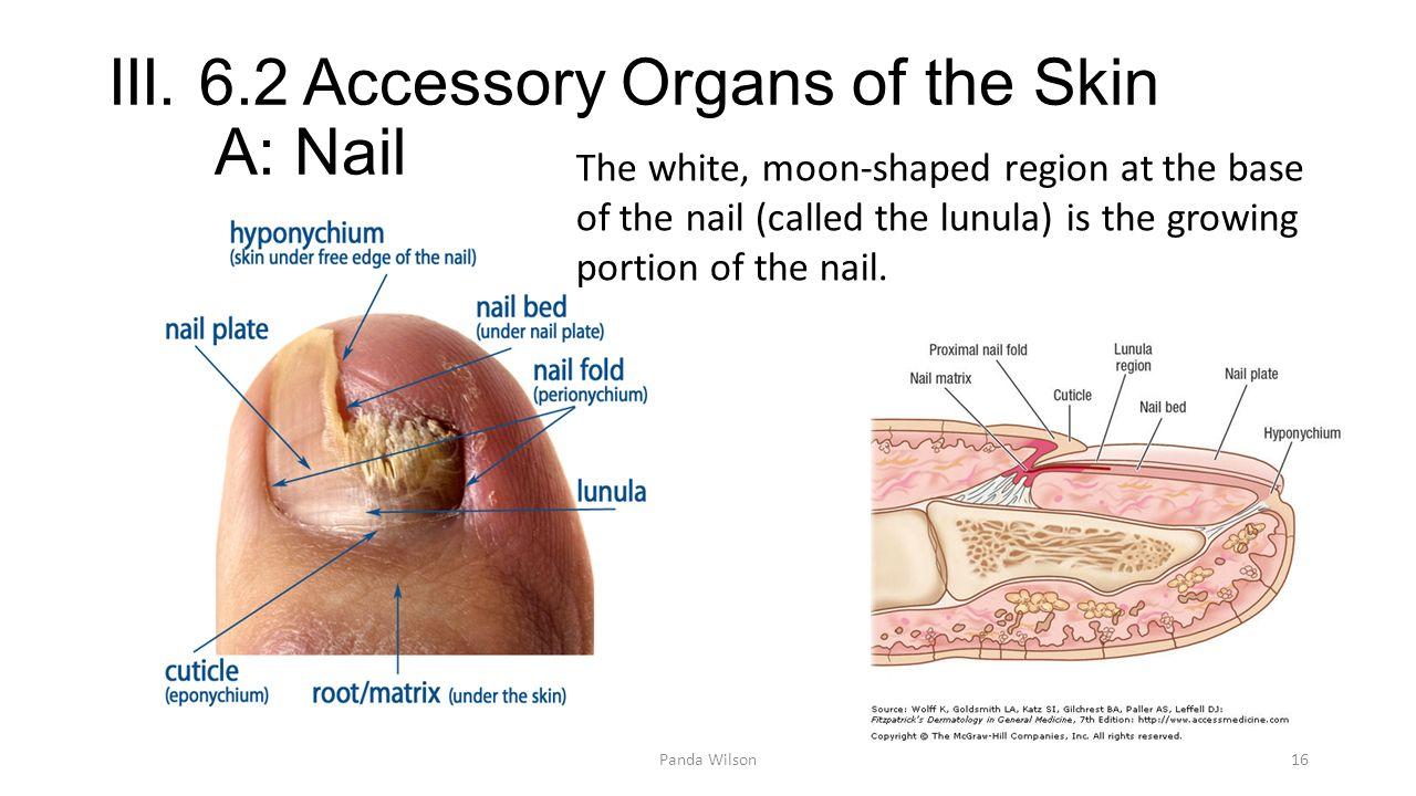 Contemporary Nail Bed Anatomy Image - Human Anatomy Images ...