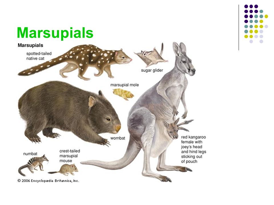Chapter 32-2 Mammals. - ppt download