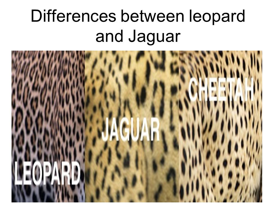What's the Difference Between a Jaguar and a Leopard?