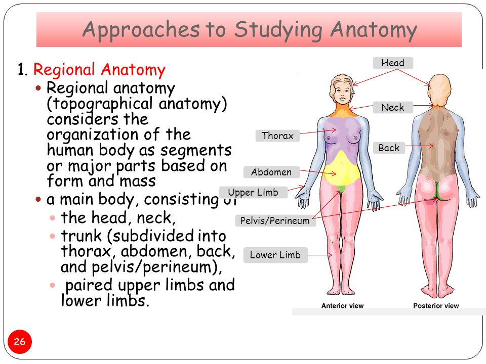 Functionally Oriented Regional Anatomy Gallery - human body anatomy