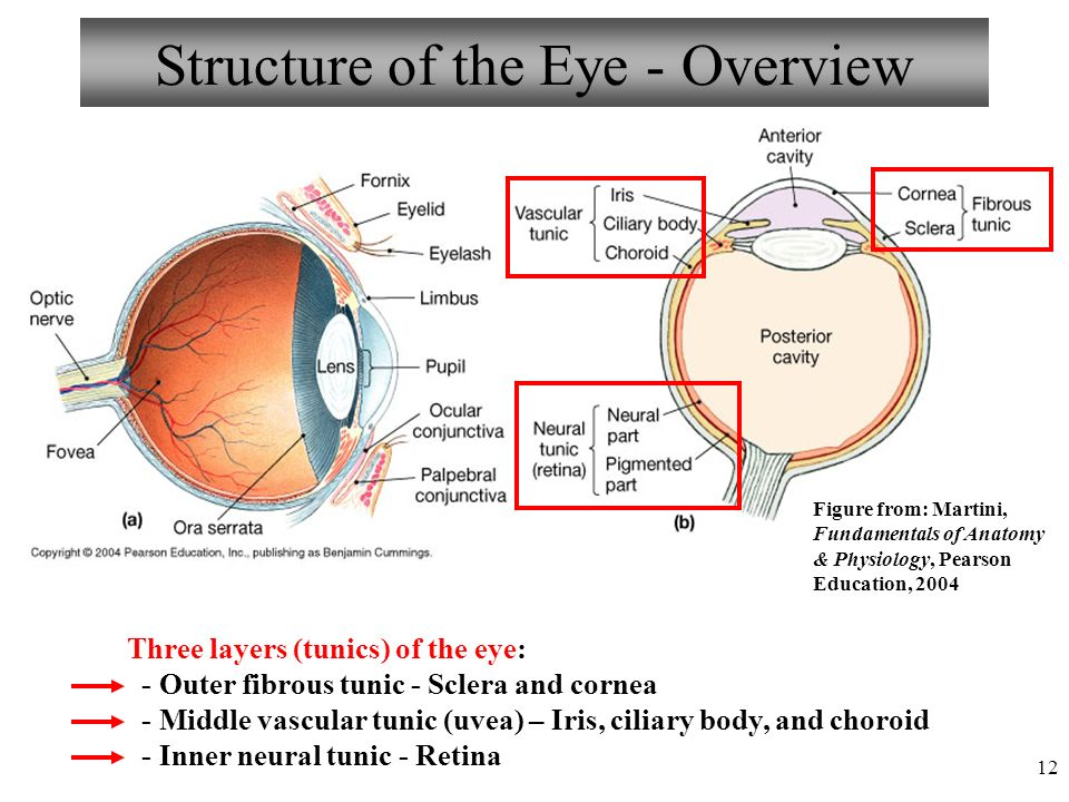 Anatomy, Physiology & Pathology of the Human Eye