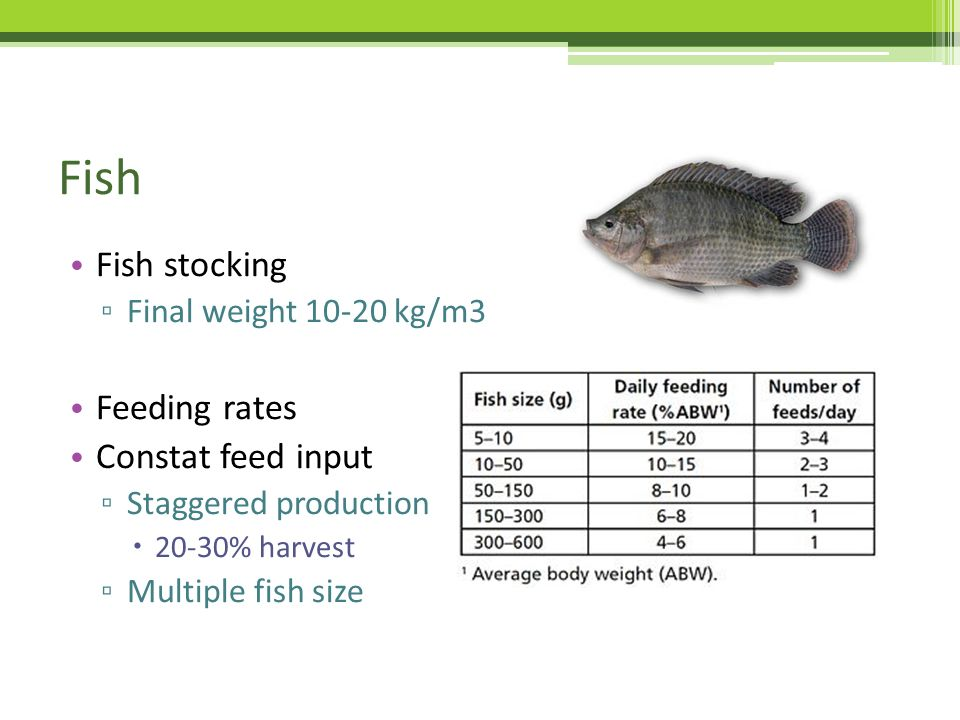 Rules of thumb in aquaponics ppt video online download for Fish stocking prices