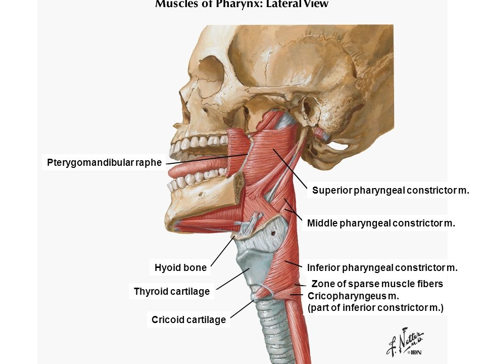 PHARYNX, CRANIOVERTEBRAL JOINTS, PREVERTEBRAL REGION - ppt ...