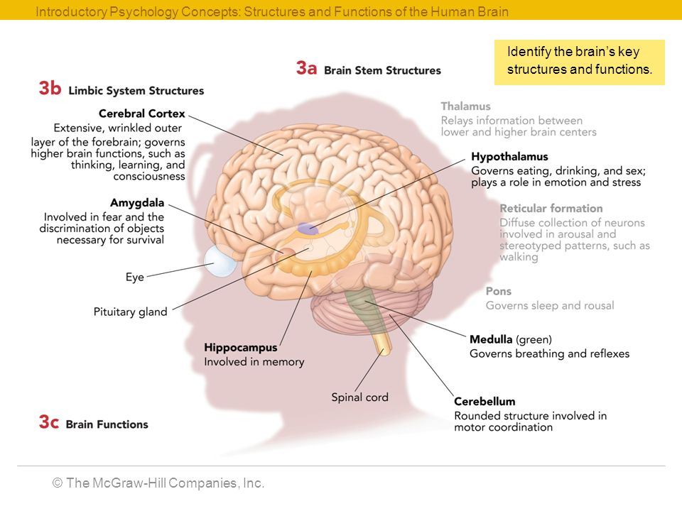Introductory psychology concepts ppt video online download introductory psychology concepts structures and functions of the human brain ccuart Choice Image