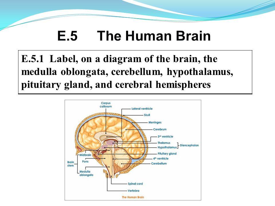 E.5 The Human Brain E.5.1 Label, on a diagram of the brain, the ...