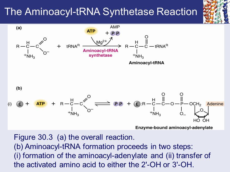 aminoacyl trna synthetase - photo #43