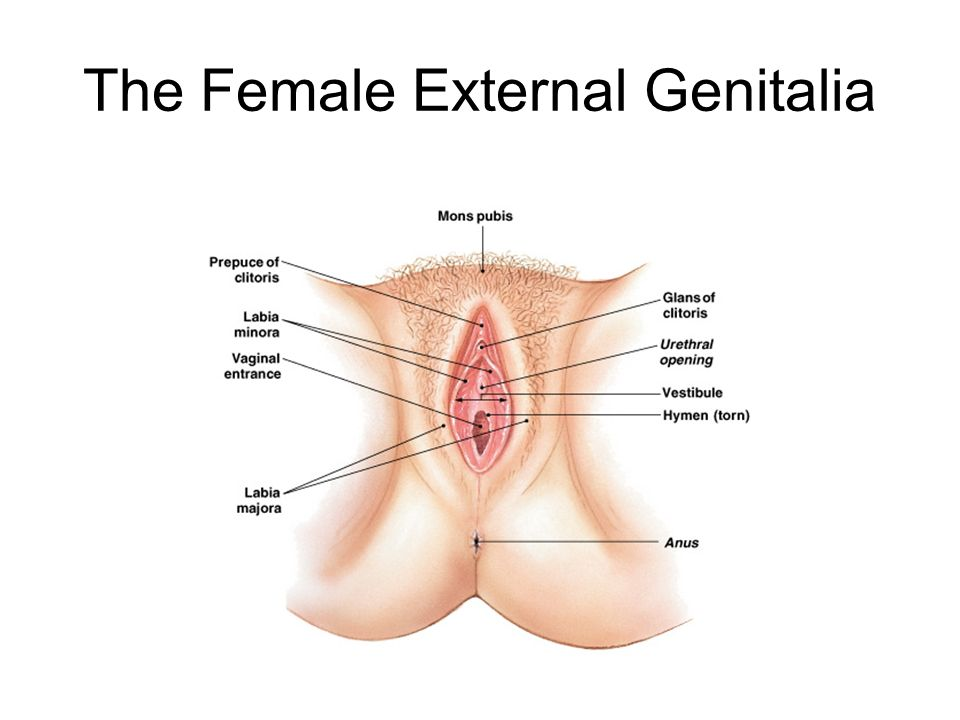 Old Fashioned Female External Genitalia Anatomy Collection Human