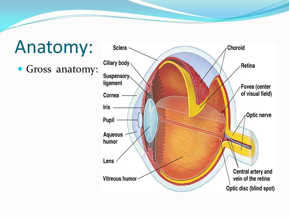 Ziemlich Retina Anatomie Ppt Ideen - Menschliche Anatomie Bilder ...
