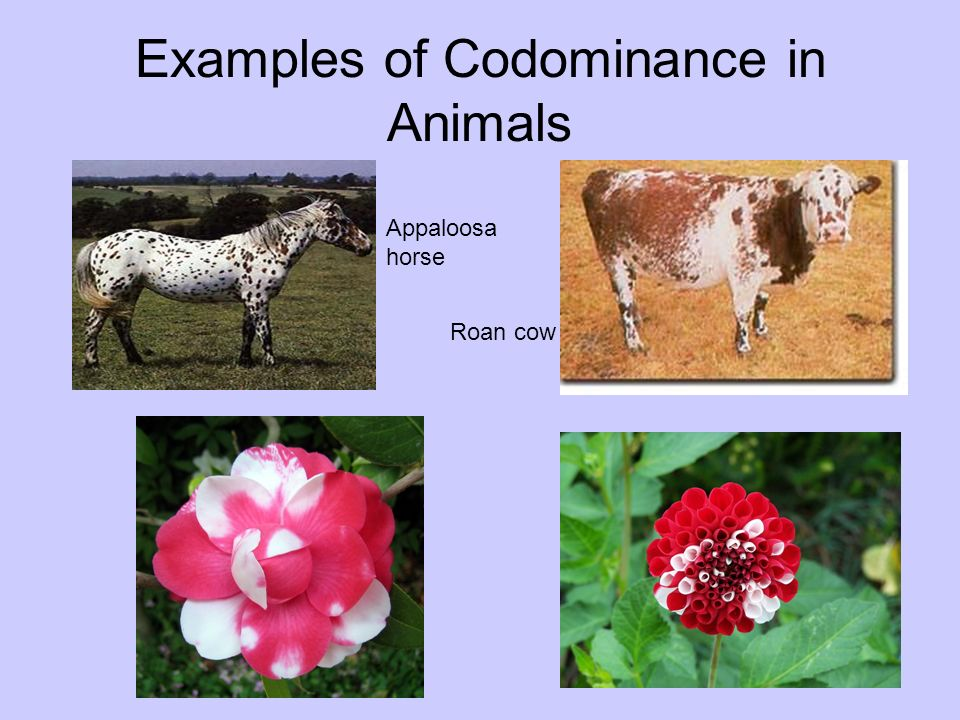 codominance in humans Codominance punnet square diapers  codominance punnent square  this  happens often with blood type in humans, and is called co-dominance.
