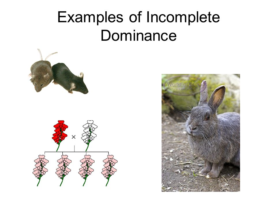 Incomplete Dominance Codominance Multiple Alleles - ppt video online ...