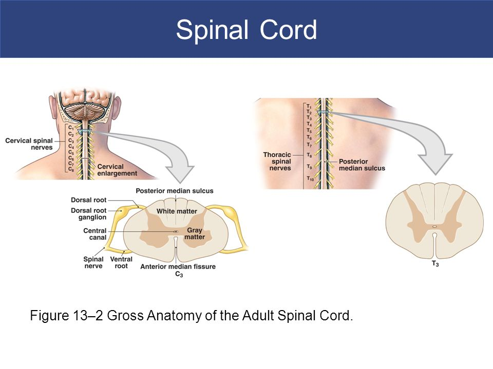 Gross Anatomy Of The Spinal Cord