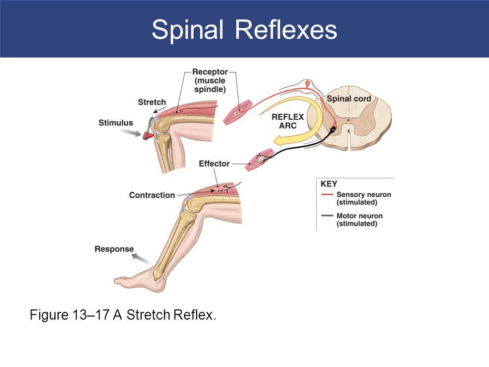 Spinal cord reflexes yelomphonecompany spinal cord reflexes ccuart Choice Image