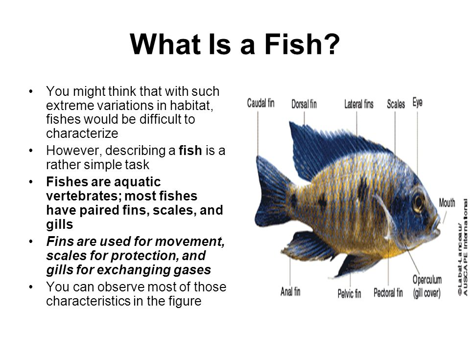 Nonvertebrate chordates fishes and amphibians ppt download for List of fish with fins and scales