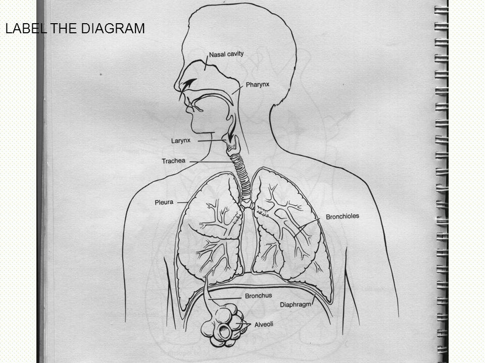 Respiratory system diagram ppt image collections how to 17812810815 respiratory system diagram gcse pe image collections how ccuart Images