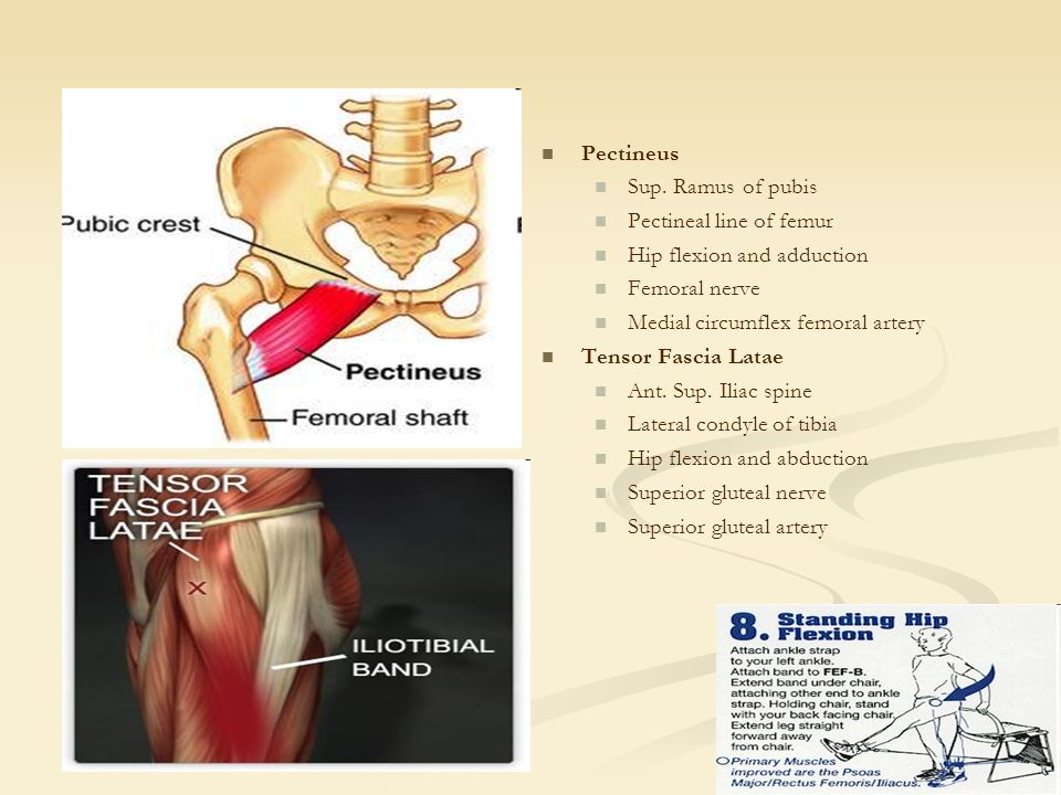 iliofemoral joint (hip) presented by: angela, clifford, casey, Muscles
