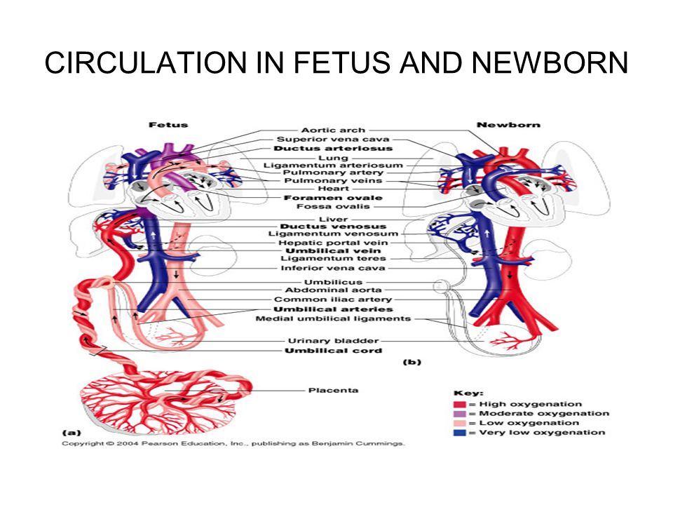 Pregnancy And Human Development Ppt Download