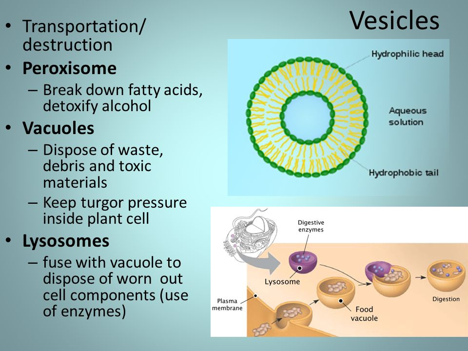Prokaryotes Smallest Cells - ppt download