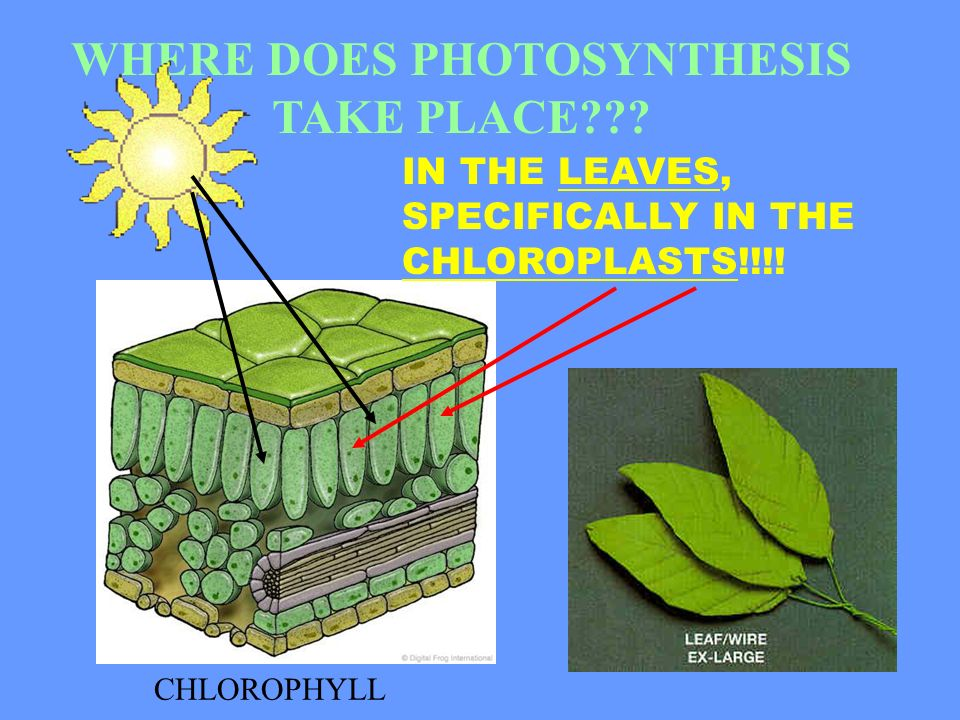 photosynthesis takes place in the Chloroplasts and photosynthesis  most amino acid synthesis, and all of the fatty acid synthesis of plants takes place in the plastids, .