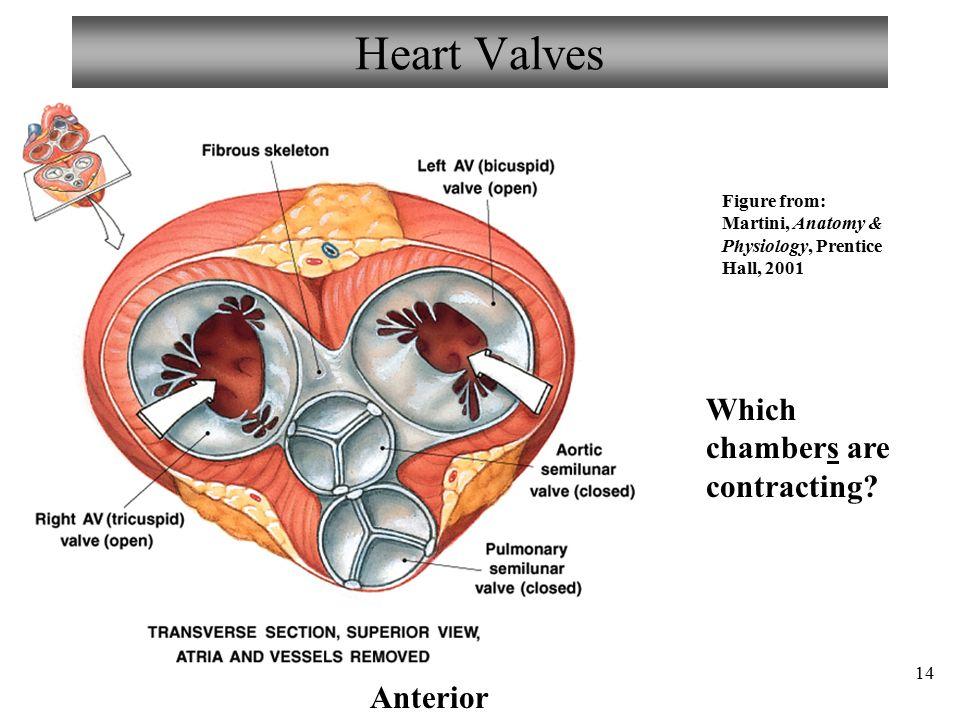 Ausgezeichnet Anatomy Of Heart Valve Ideen - Menschliche Anatomie ...