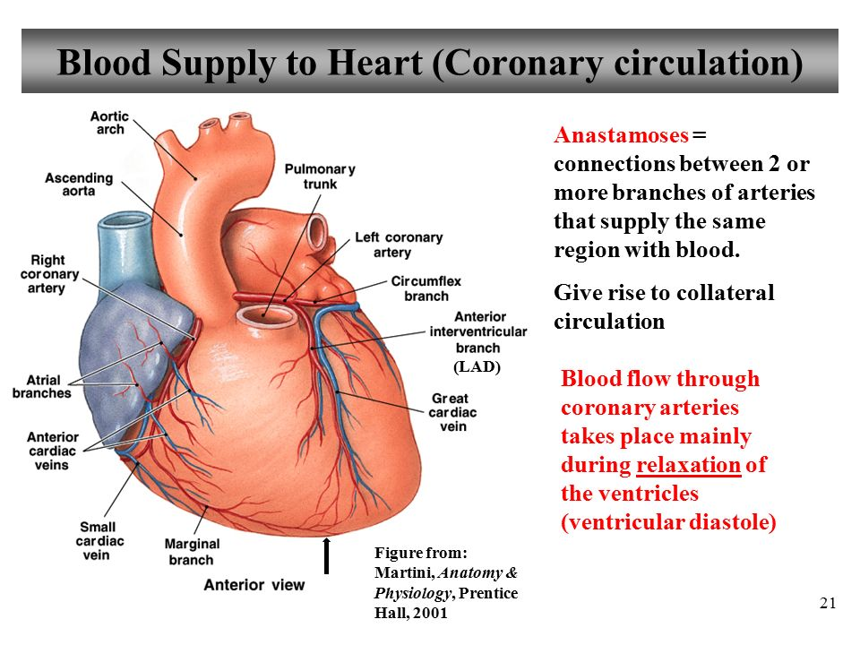 Old Fashioned Anatomy Of Blood Supply Of Heart Crest - Human Anatomy ...