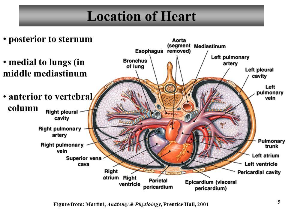 Martini Human Anatomy Image collections - human anatomy organs diagram