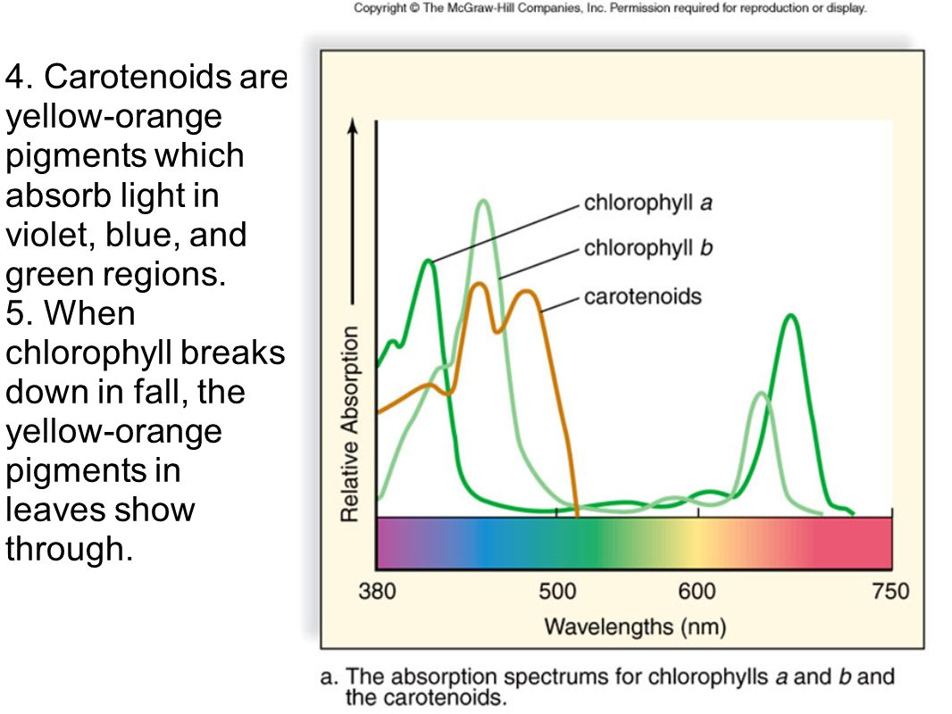 chlorophyll and carotenoids relationship memes