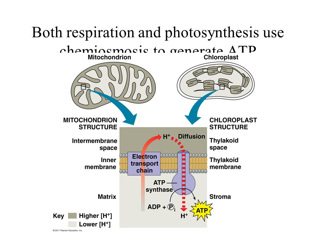 the relationship between a photosynthetic autotroph and a chemotrophic autotroph nitrification ammon Bio 101 module 2 - slp the relationship between a photosynthetic autotroph and a chemotrophic autotroph nitrification.