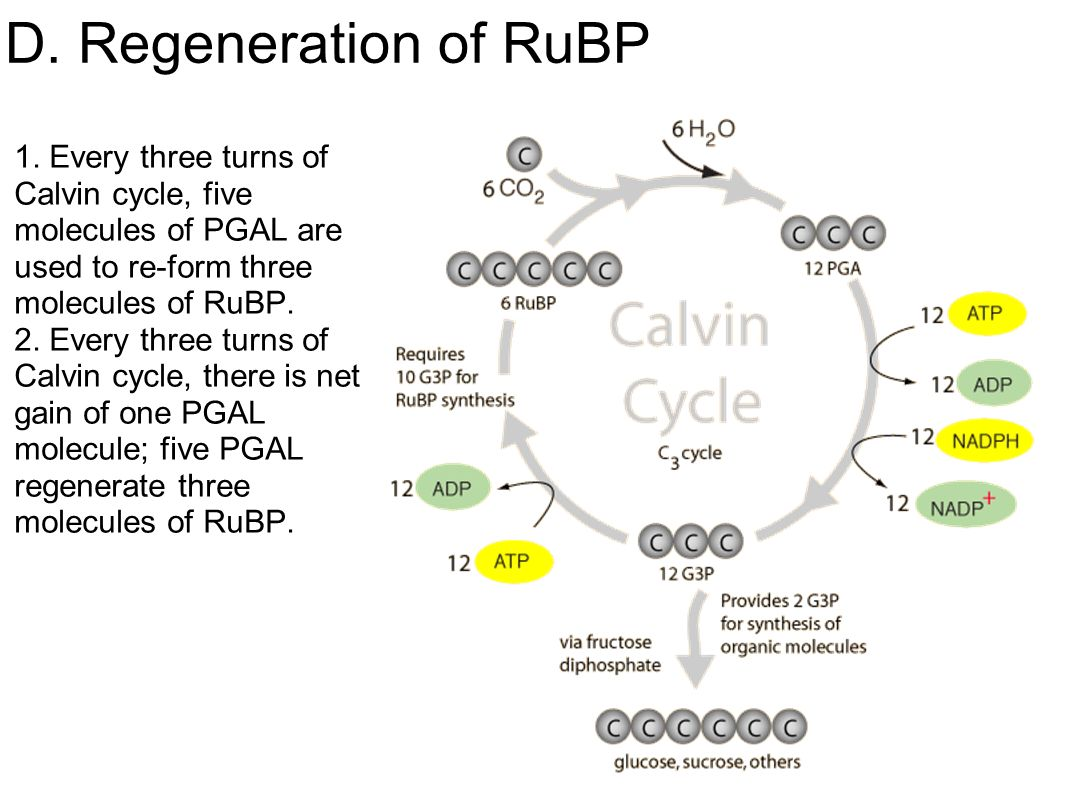 what is the relationship between pgal rubp and rubisco