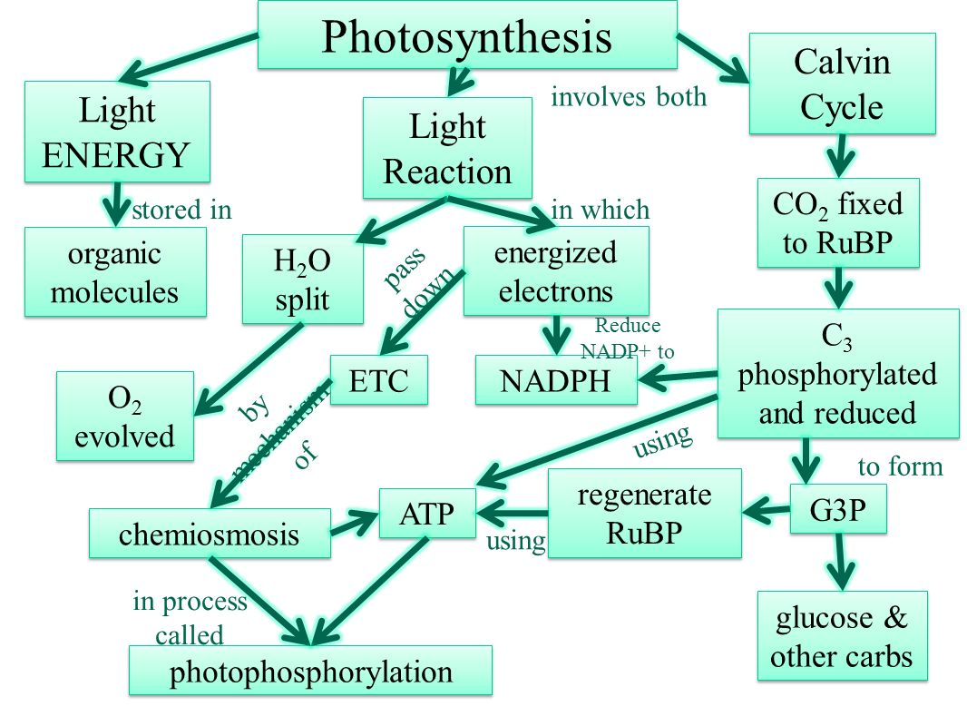 Journal explain the relationship between photosynthesis and photosynthesis calvin cycle light energy light reaction pooptronica Choice Image